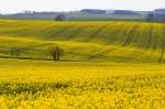 rapeseed field in Germany (photo Groman123)